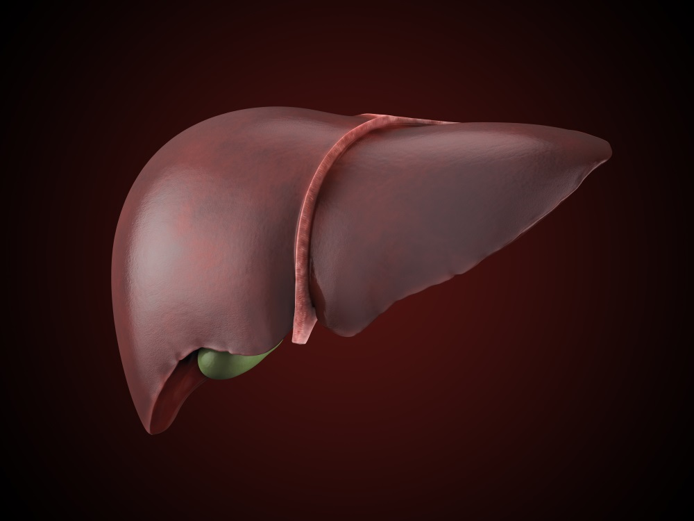 Realistic human liver illustration